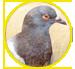 piccioni_icona