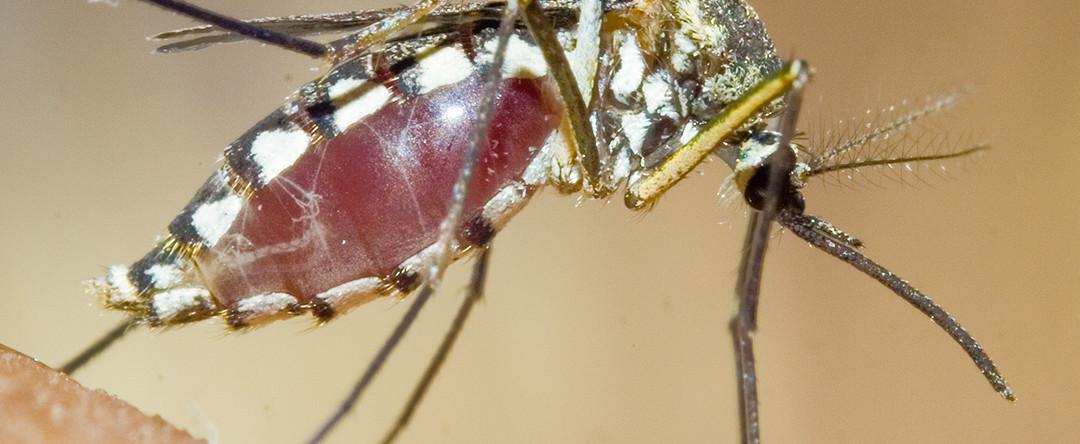 Allarme dengue: disinfestazione straordinaria